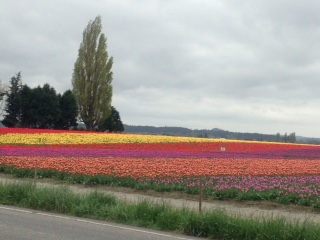 Gorgeous field of tulips