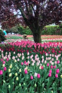 Tulip festival at Skagit Valley