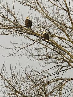 Resident bald eagles